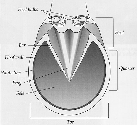 Hoof Diagram 28 Images Image Gallery Hoof Diagram Laminitis In